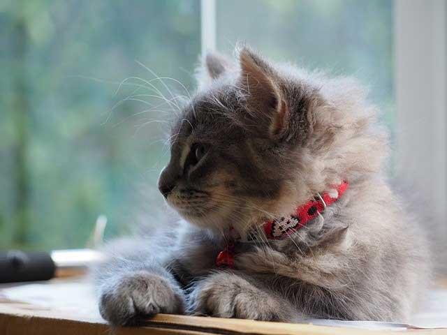 Chaton avec un collier